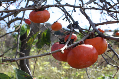 福島県福島市花見山公園2020年11月5日画像。柿の実