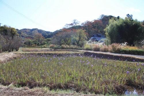 福島県福島市花見山公園2020年11月5日画像。菖蒲池