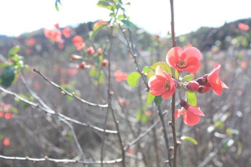 福島県福島市花見山公園2020年11月5日画像。木瓜の花咲く