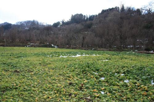 福島県福島市花見山公園2020年12月28日画像。雪残る花見山の菜の花畑2