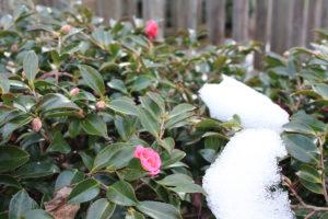 福島県福島市花見山公園2020年12月28日画像。雪残る花見山の寒椿