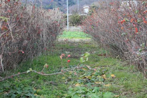 福島県福島市花見山公園2020年12月28日画像。花見山の木瓜