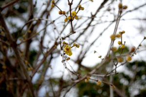 福島県福島市花見山公園2021年1月20日画像。蠟梅の蕾と花