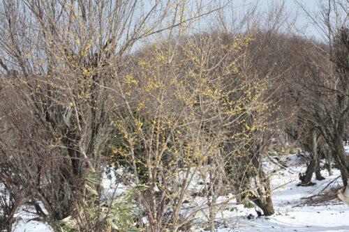 福島県福島市花見山公園2021年1月20日画像。蠟梅