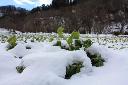 福島県福島市花見山公園2021年1月20日画像。雪と菜の葉