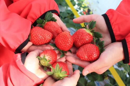 伊達市霊山町にある「松葉園」苺の収穫。