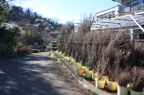 福島県福島市花見山公園2021年3月3日画像。阿部さんの花木2