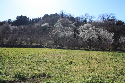 福島県福島市花見山公園2021年3月3日画像。菜の花畑ビュースポット