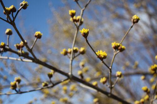 福島県福島市花見山公園2021年3月3日画像。サンシュユ