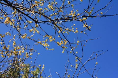 福島県福島市花見山公園2021年3月3日画像。ロウバイ