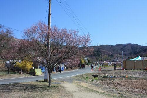 福島県福島市 花見山公園の情報 2021年3月24日。ゆずりあいコース
