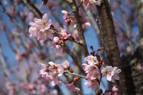 福島県福島市 花見山公園の情報 2021年3月24日のトウカイザクラ
