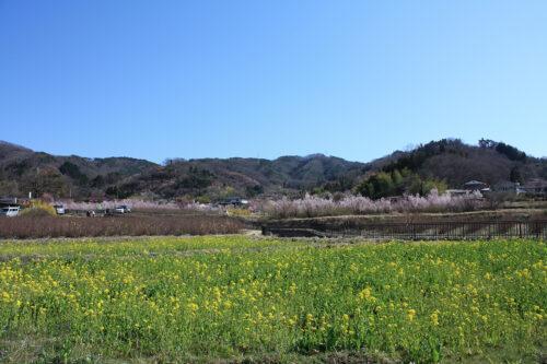 福島県福島市 花見山公園の情報 2021年3月24日。正面に花見山と菜の花畑