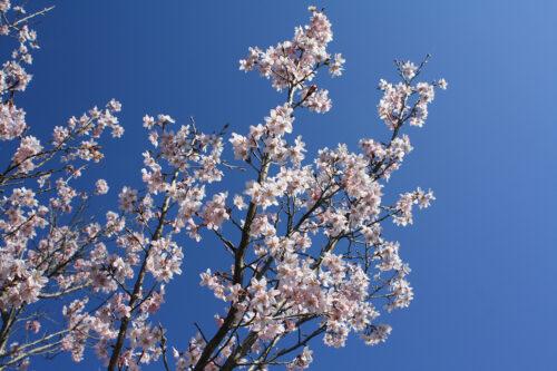 福島県福島市 花見山公園の情報 2021年3月24日の青空とトウカイザクラ