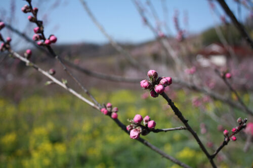 福島県福島市 花見山公園の情報 2021年3月24日ハナモモの蕾