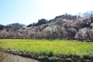 福島県福島市 花見山公園の情報 2021年3月24日撮影SP
