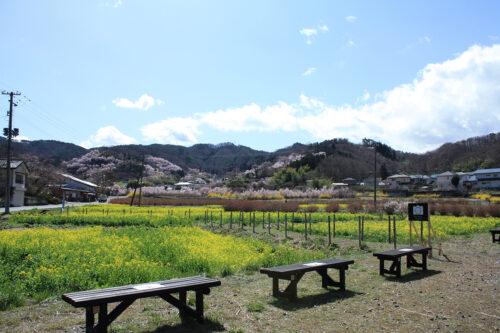 福島県福島市 花見山公園の情報 2021年3月29日正面に花見山と菜の花ビュースポット