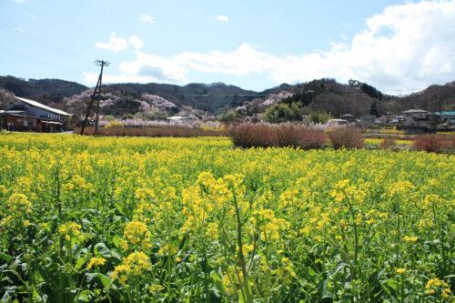 福島県福島市 花見山公園の情報 2021年3月29日見頃のビューポイント