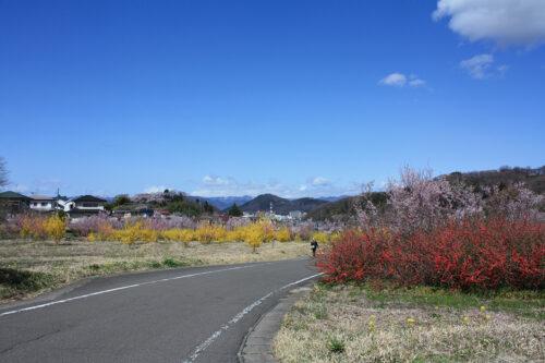 福島県福島市 花見山公園の情報 2021年3月29日 ゆずりあいコース