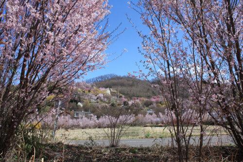 福島県福島市 花見山公園の情報 2021年3月29日 花の谷を一望できるビュースポット