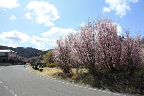 福島県福島市 花見山公園の情報 2021年3月29日 ゆずりあいコース。ベンチで一休み