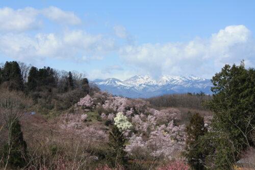 福島県福島市 花見山公園の情報 2021年3月29日 雪うさぎと花見山