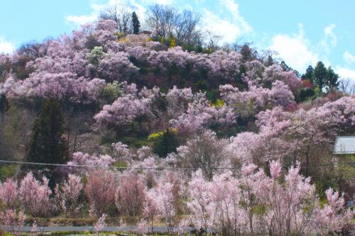 福島県福島市 花見山公園の情報 2021年3月29日 花見山が間近に見えるスポット