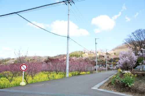 福島県福島市 花見山公園の情報 2021年3月29日 花の谷コース途中
