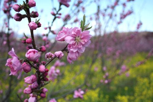福島県福島市 花見山公園の情報 2021年3月29日 咲いたハナモモ