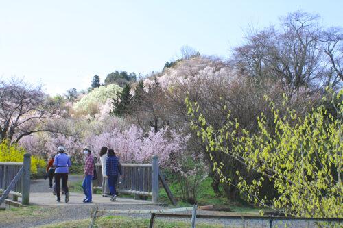 福島県福島市 花見山公園の情報 2021年3月29日 ウォーキングトレイル鈴ヶ入川をまたぐ