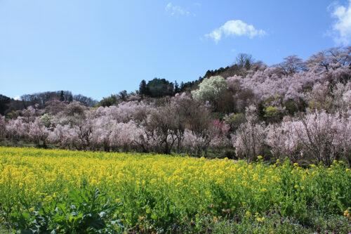 福島県福島市 花見山公園の情報 2021年3月29日 大きなハクモクレンのビュースポット