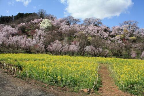 福島県福島市 花見山公園の情報 2021年3月29日 菜の花畑の中で