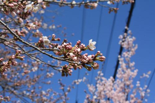福島県福島市 花見山公園の情報 2021年3月29日