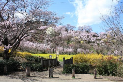 福島県福島市 花見山公園の情報 2021年3月29日 春爛漫のビュースポット