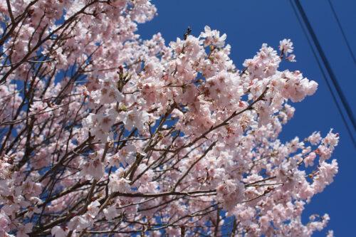 福島県福島市 花見山公園の情報 2021年3月29日満開のトウカイザクラ