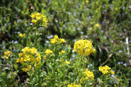 福島県福島市 花見山公園の情報 2021年3月24日菜の花