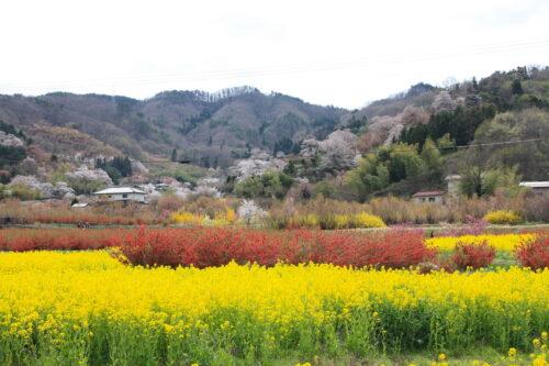 福島県福島市 花見山公園の情報 2021年4月6日 IMG_8656