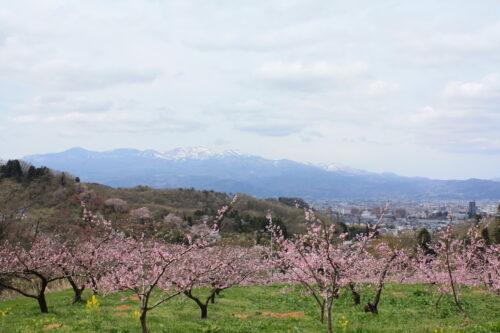 福島県福島市 花見山公園の情報 2021年4月6日 IMG_8661