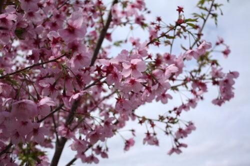 福島県福島市 花見山公園の情報 2021年4月6日 IMG_8663