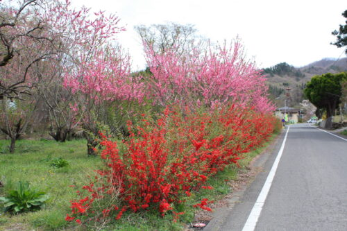 福島県福島市 花見山公園の情報 2021年4月6日 IMG_8667