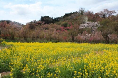 福島県福島市 花見山公園の情報 2021年4月6日 IMG_8670