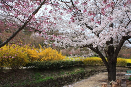 福島県福島市 花見山公園の情報 2021年4月6日 IMG_8673