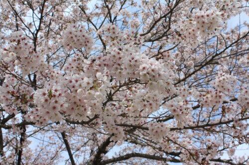 福島県福島市 花見山公園の情報 2021年4月6日 IMG_8674