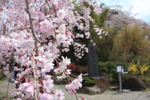 福島県福島市 花見山公園の情報 2021年4月6日 IMG_8675