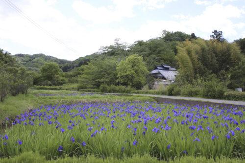 福島県福島市 花見山公園の情報 2021年5月10日 カキツバタ池