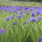 福島県福島市 花見山公園の情報 2021年5月10日 カキツバタ