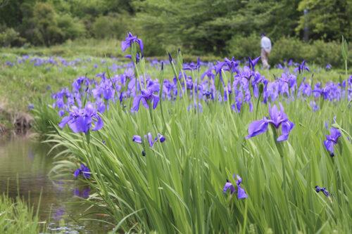 福島県福島市 花見山公園の情報 2021年5月10日 カキツバタと散歩