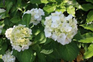 福島県福島市 花見山公園の情報 2021年6月15日 白い紫陽花
