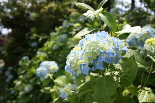 福島県福島市 花見山公園の情報 2021年6月15日 青系の紫陽花