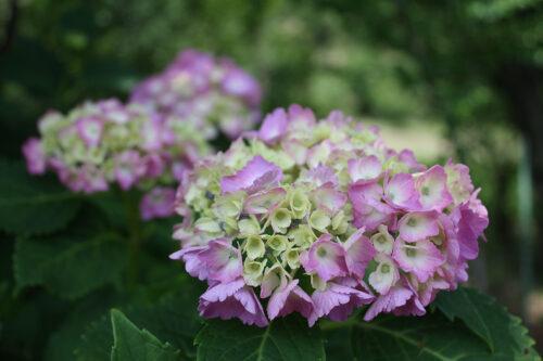 福島県福島市 花見山公園の情報 2021年6月15日  赤系の紫陽花